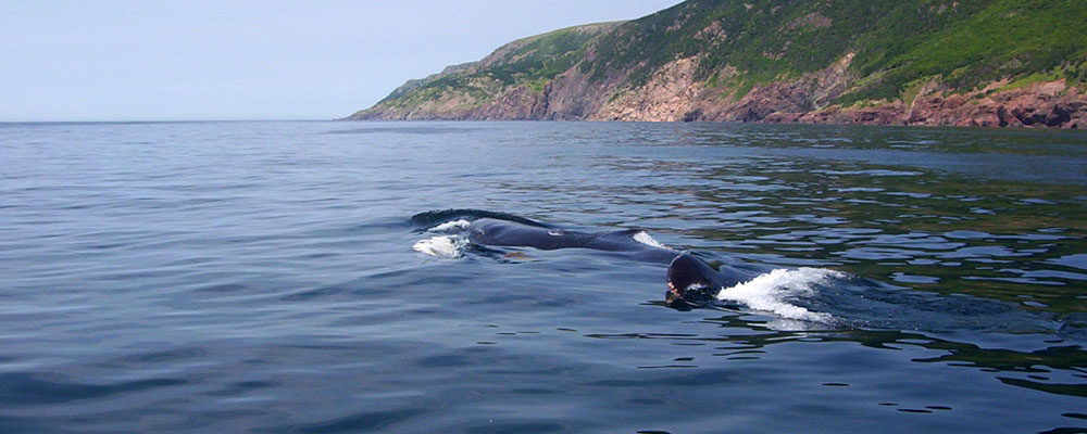 Cape Breton Whale Watching
